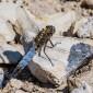 Black-tailed Skimmer older female - Större sjötrollslända äldre hona