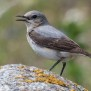 Northens Wheatear - Stenskvätta