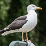 Lesser Black-backed Gull - Silltrut