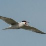 Common Tern - Fisktärna