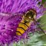 Hoverfly - Blomfluga