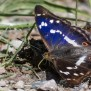 Purple Emperor - Sälgskimmerfjäril