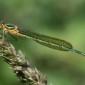 Emerald Damselfly - Pudrad smaragdflickslända