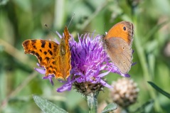 Comma and Meadow Brown