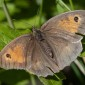 Meadow Brown - Slåttergräsfjäril