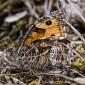 Grayling - Sandgräsfjäril