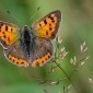 Small Copper - Mindre guldvinge