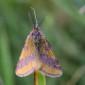 Purple-barred Yellow, male - Mindre purpurmätare, hanne