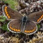 Brown Argus, female - Rödfläckig blåvinge, hona