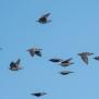 Juvenile Common Starlings - Unga starar