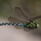 Blue Hawker - Blågrön mosaikslända