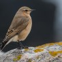 Juvenile Northern Wheatear - Ung stenskvätta