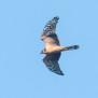 Juvenile Pallid Harrier - ung stäpphök
