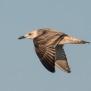 Juvenile Caspian Gull - ung kaspisk trut