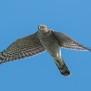 Sparrow Hawk - Sparvhök