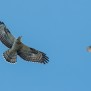 Honey Buzzard and Sparrow Hawk - bivråk och sparvhök