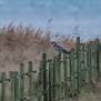 Peregrine Falcon - Pilgrimsfalk