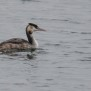 Crested Grebe - Skäggdopping