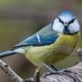 Blue Tit - Blåmes