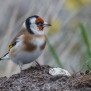 European Goldfinch - Steglits
