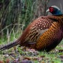 Common Pheasant - Fasan