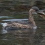 Little Grebe - Smådopping