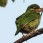 Moustached Barbet