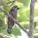 Banded Broadbill