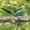 Long-tailed Broadbill