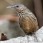 Limestone Wren-Babbler
