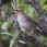 Grey-sided Thrush