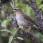 Grey-sided Thrush