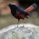 White-capped Redstart