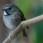 White-gorgeted Flycatcher