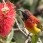 Mrs. Gould's Sunbird
