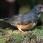 Black-breasted Thrush