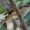 Brown Sshrike