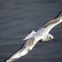 Blackheaded Gull 2cy - Skrattmås 2k