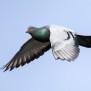 Feral Pigeon - Tamduva
