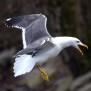 Lesser Black-backed Gull - Silltrutclear