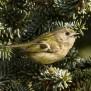 Goldcrest - Kungsfågel