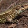 Common Lizard - Skogsödla