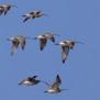 Eurasian Curlew - Storspov