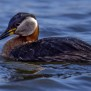 Red-necked Grebe - Gråhakedopping