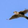 Eurasian Skylark - Sånglärka