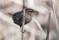 Eurasian Wren - Gärdsmyg