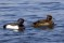 Tufted Duck - Vigg