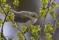 Willow Warbler - Lövsångare