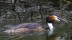 Great Crested Grebe - Skäggdopping