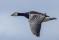 Barnackle Goose - Vitkindad gås